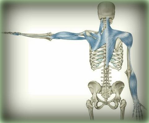 anatómiai erővonal a karban